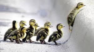 Ducks following